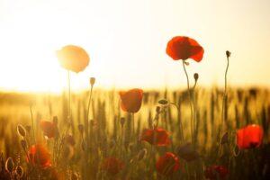 Poppy Flowers in Sunset